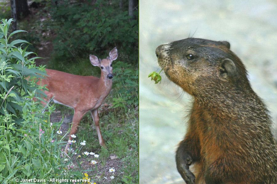 Pesky deer and groundhogs