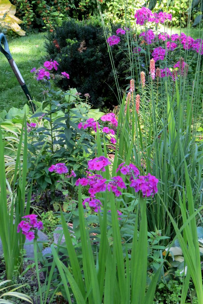 Magenta phlox in my back garden