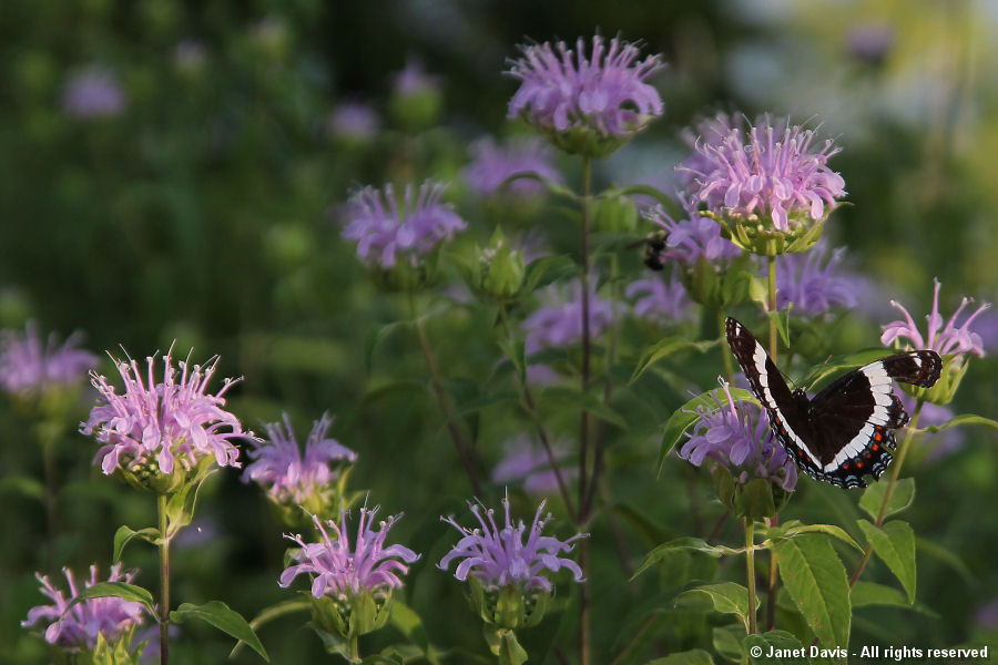 White Admiral on wild beebalm