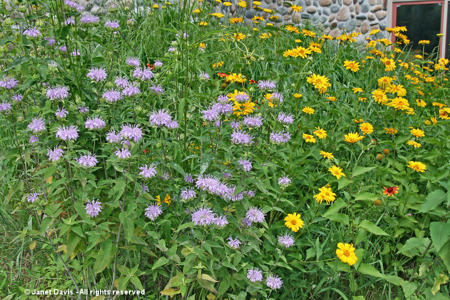 Wild beebalm and heliopsis