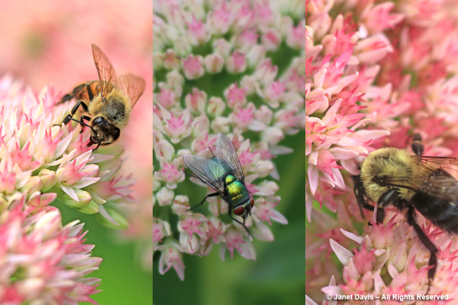 Bee-friendly Sedum 'Autumn Joy'