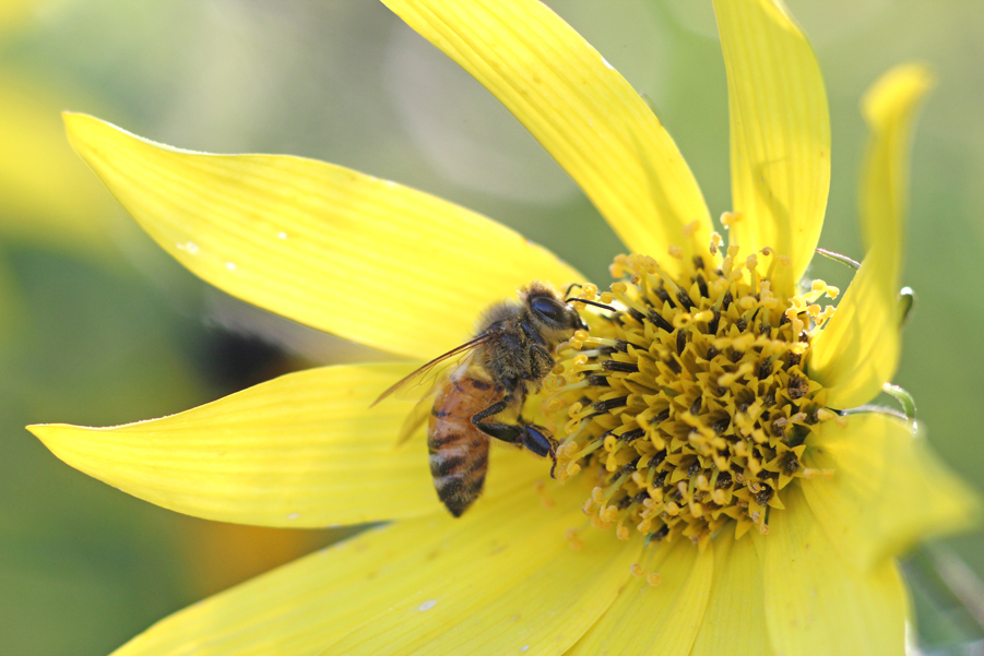 Bee on Helianthus 'Lemon Queen'