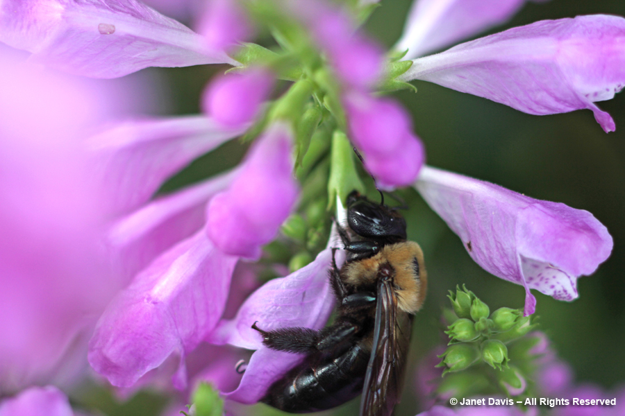 Carpenter bee nectar-robbing physostegia
