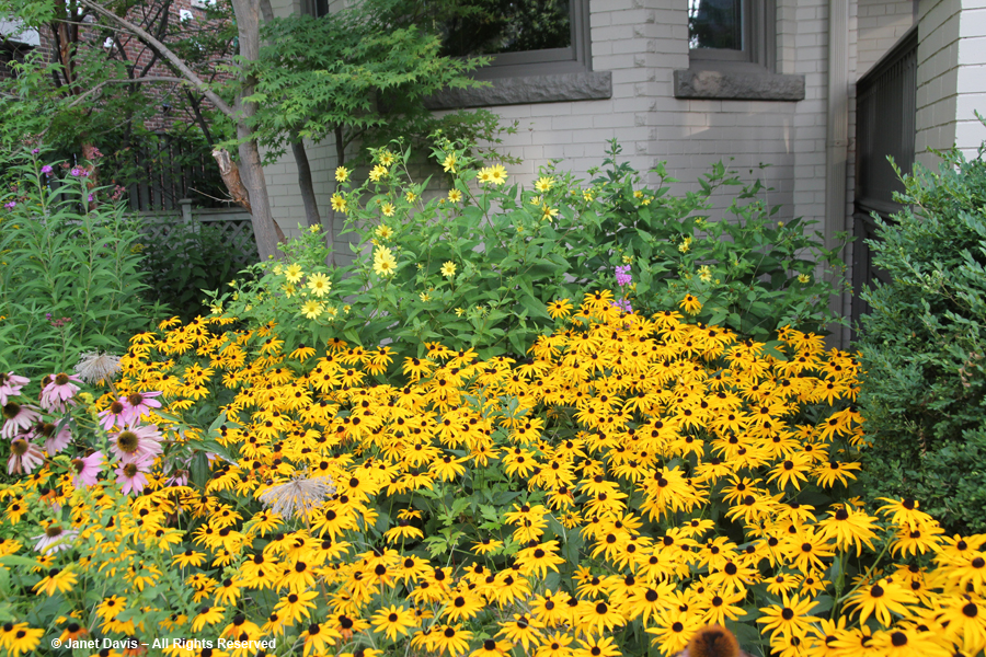Helianthus 'Lemon Queen' behind Rudbeckia 'Goldsturm'