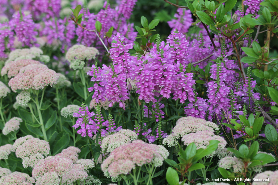Physostegia virginiana & Sedum 'Autumn Joy'