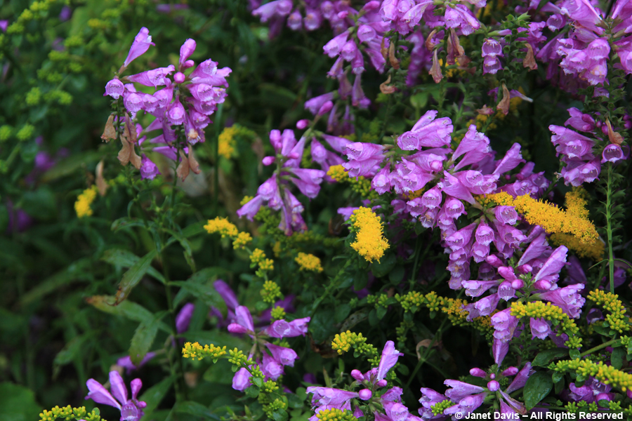 Physostegia virginiana & Solidago sphacaleta 'Golden Fleece'