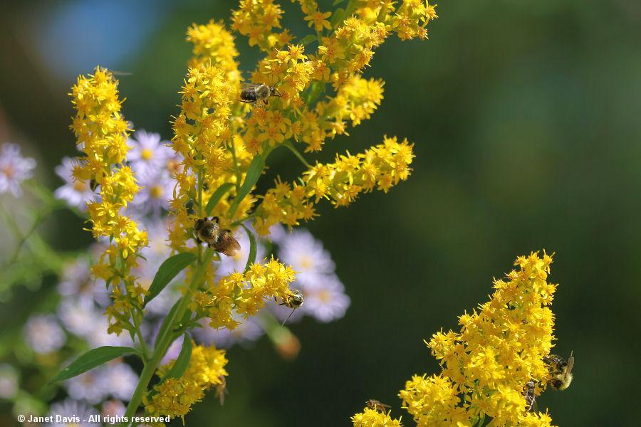 Solidago speciosa with native bees