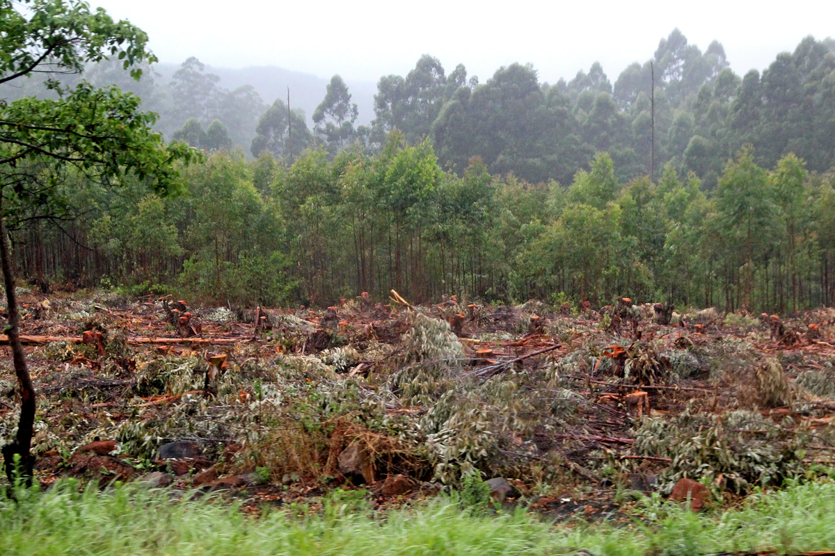 Logged stand of red gums-Mpumalanga