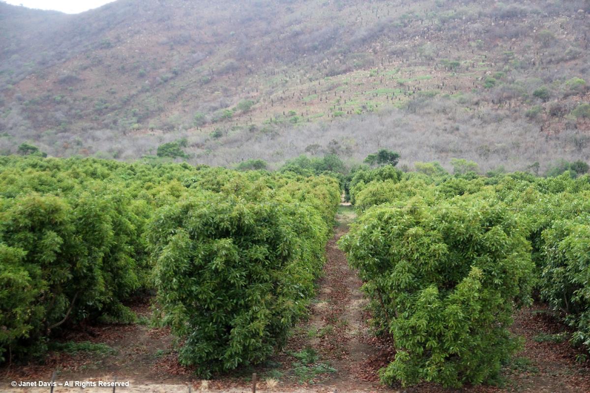 Mango trees-Mpumalanga