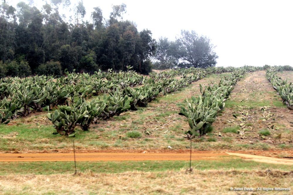 Prickly Pear-Mpumalanga