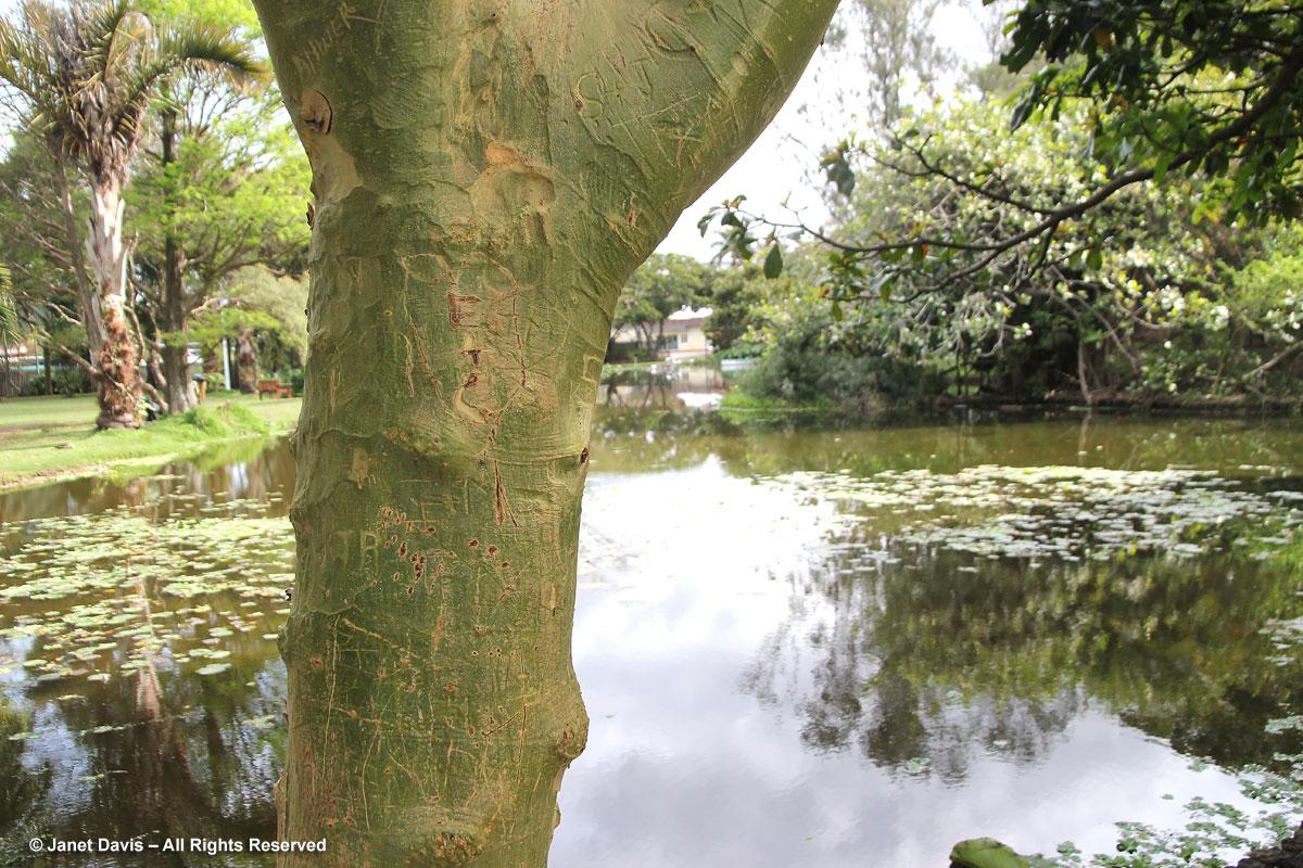 Acacia xanthophloea-fever tree-Durban Botanic