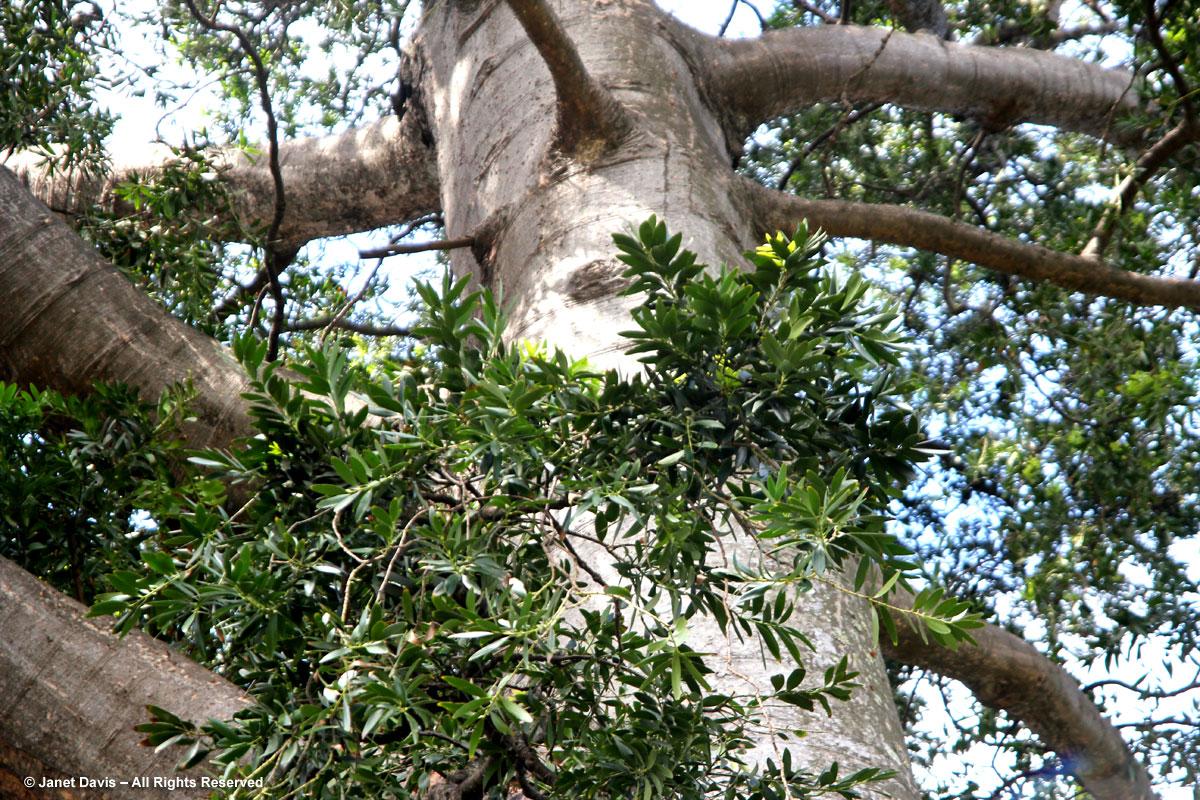 Agathis australis-Kauri-Durban Botanic