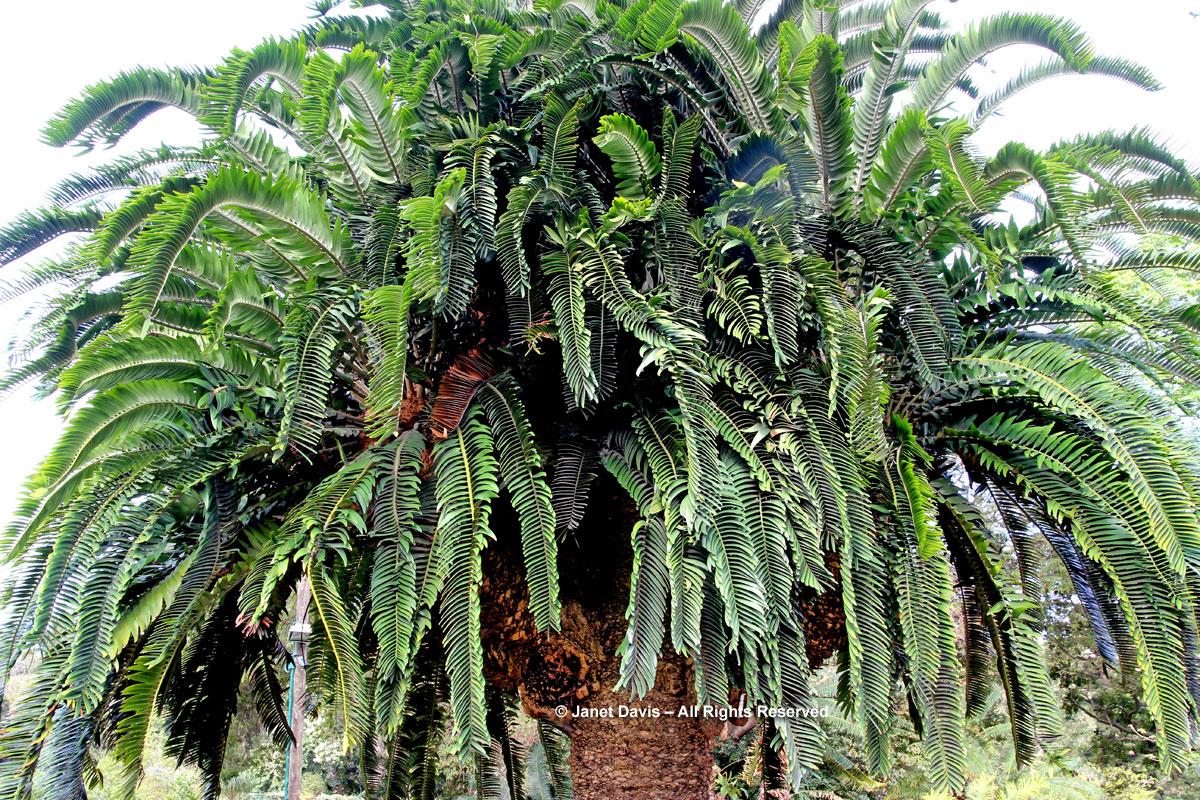 Encephalartos woodii-Wood's Cycad-Durban Botanic