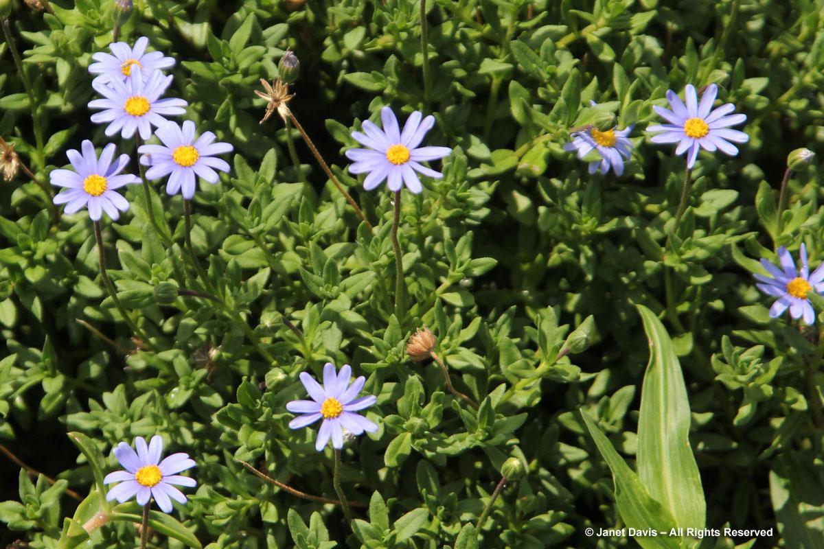 Felicia amelloides-Blue Daisy Bush
