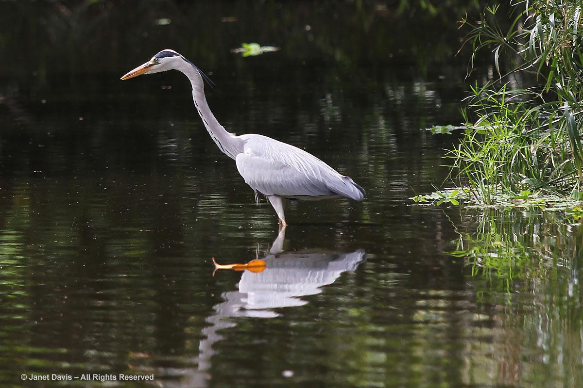 Grey Heron-Durban Botanic Garden