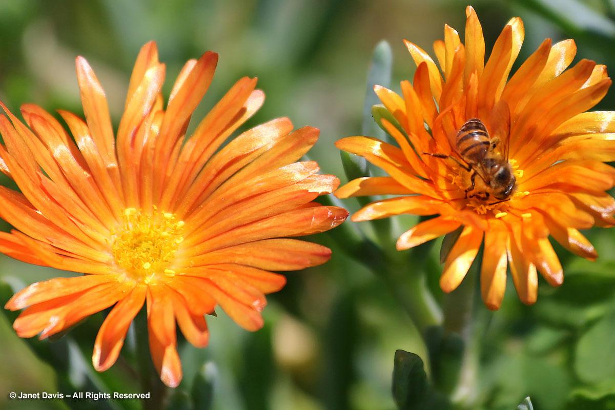 Lampranthus aureus-with bee