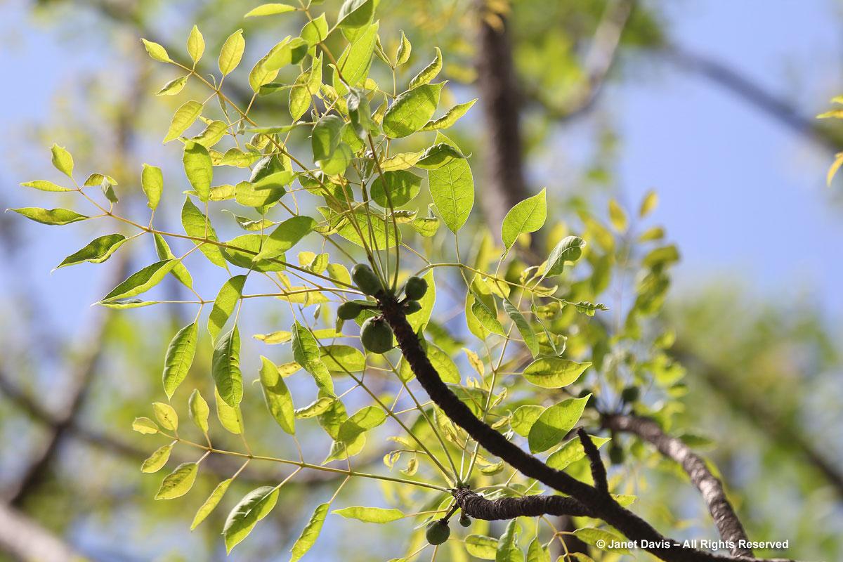 Sclerocarya birrea-Marula fruit-Durban Botanic