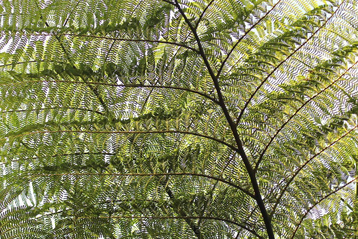 Tree fern-Durban-Botanic