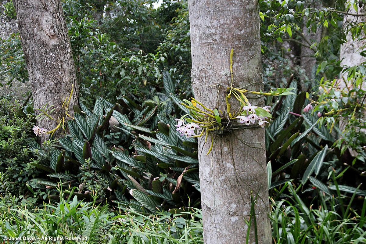 Ephiphytic orchid-Makaranga