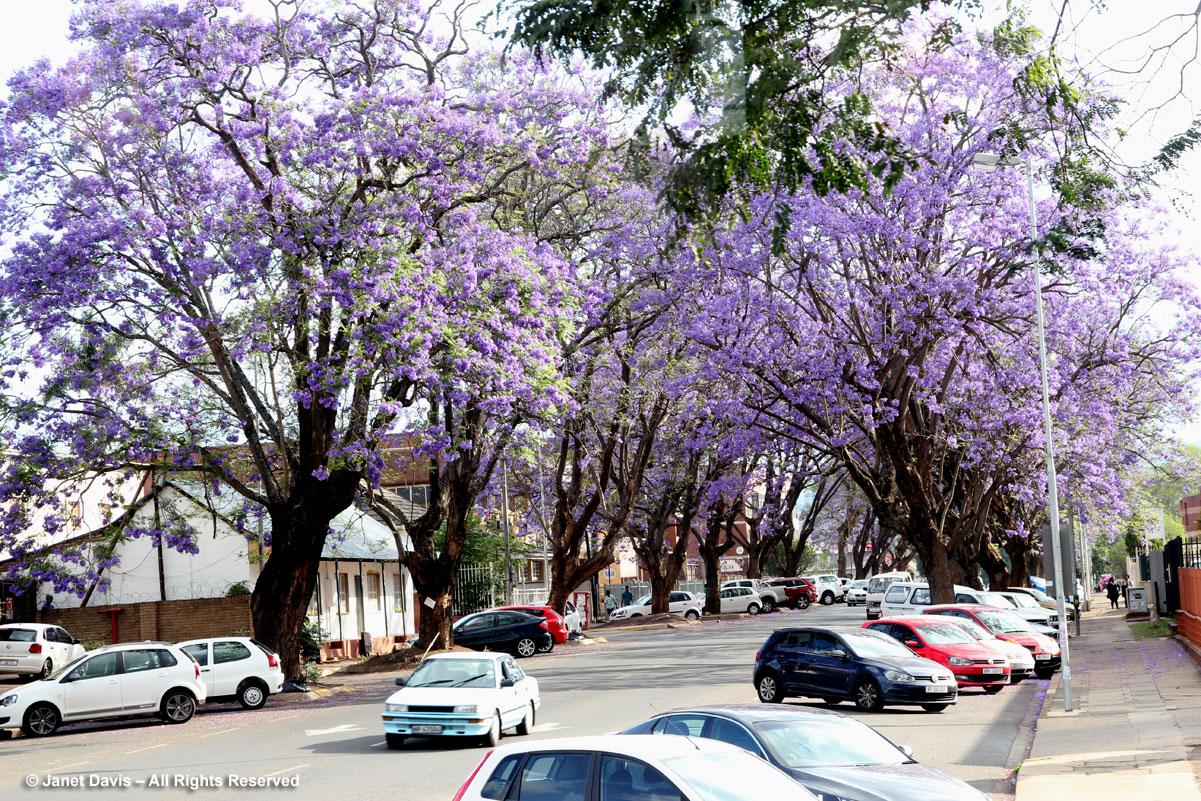 Jacaranda trees-Pietermaritzburg