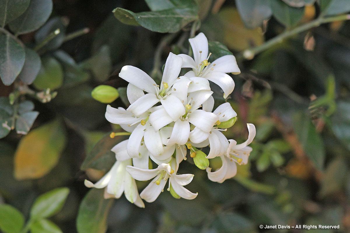 Murraya-paniculata