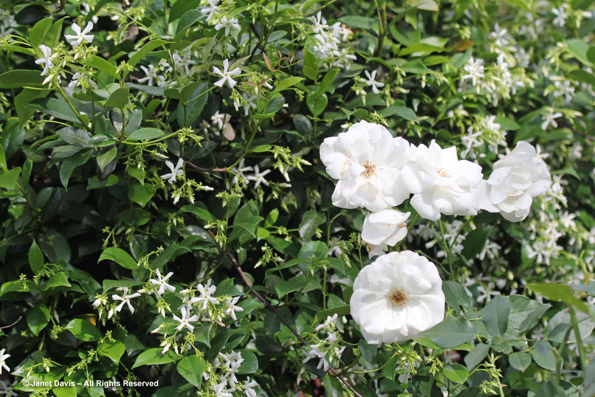 Rosa 'Iceberg' and Star jasmine