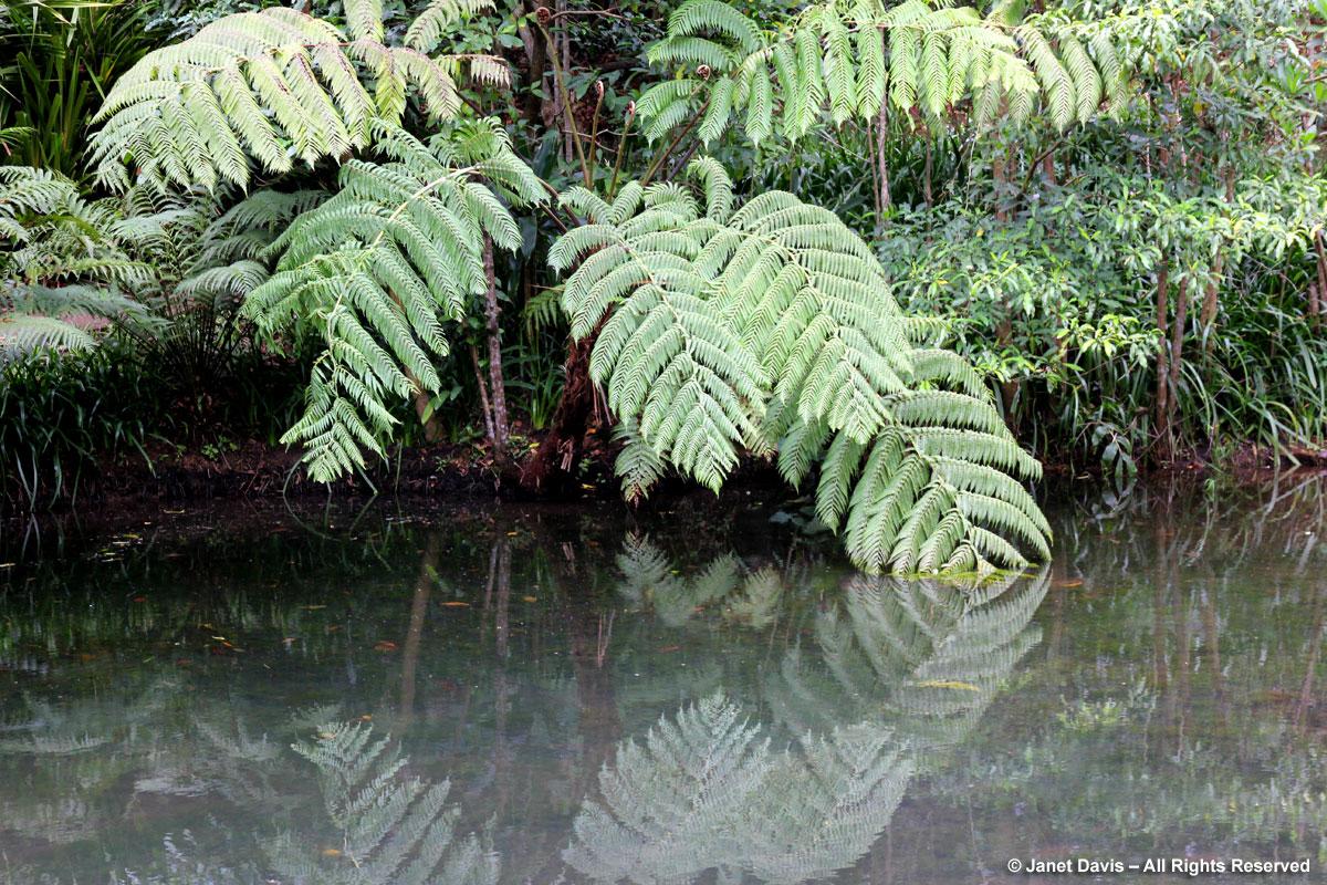 Tree fern-Cyathea sp