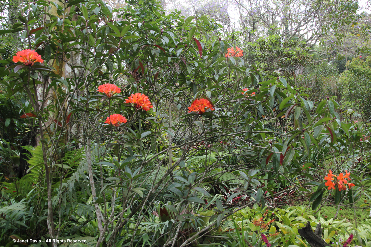 Vireya rhododendron-Makaranga