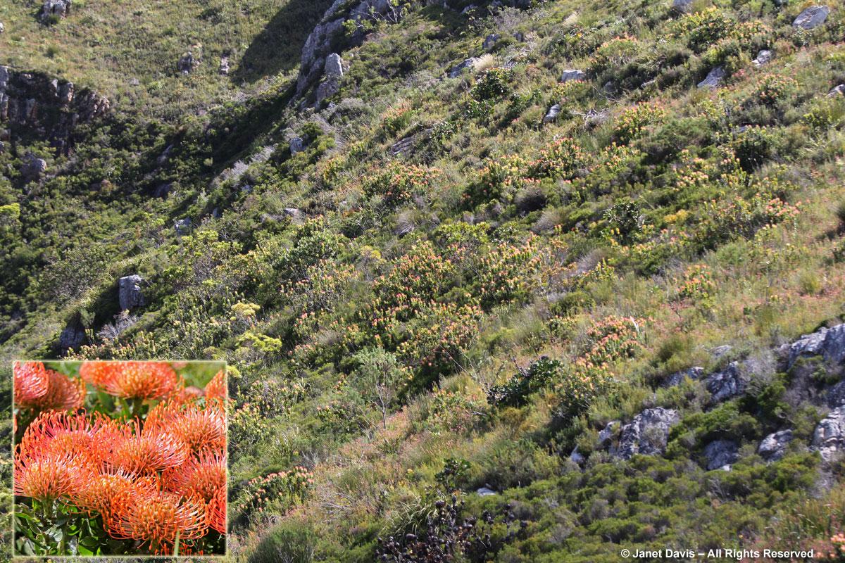 Fynbos-Leucospermum cordifolium