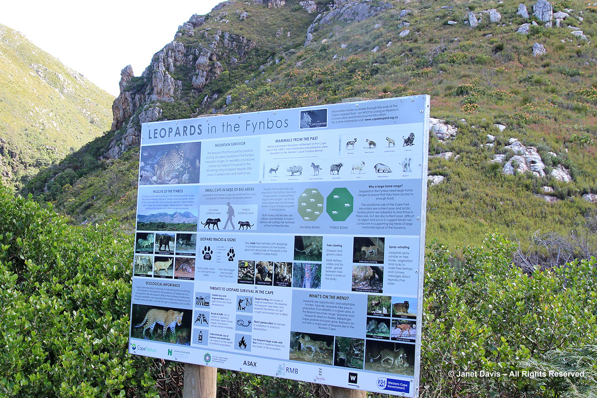 Leopard sign-Fynbos-Harold Porter BG