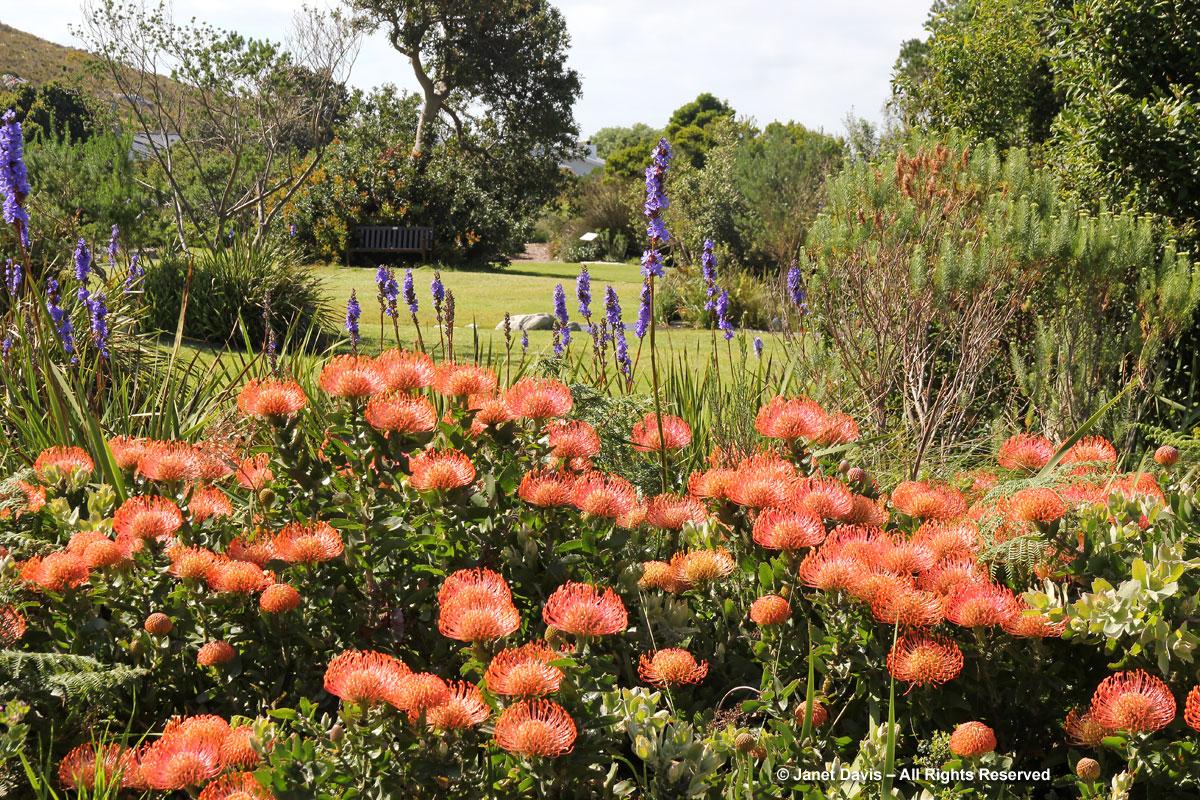 Leucospermum cordifolium & Aristea capitata-Harold Porter BG