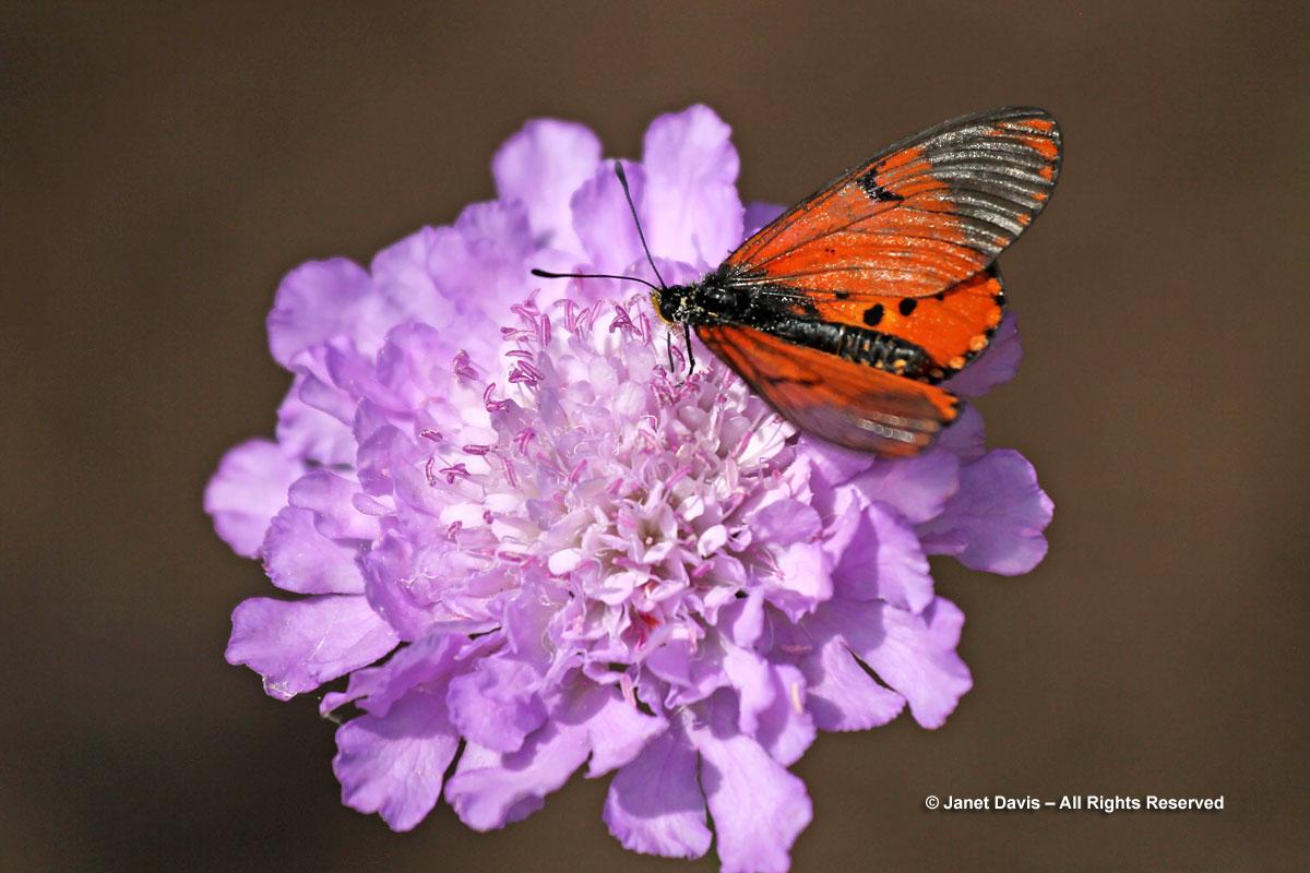 Scabiosa incisa & Acraea butterfly