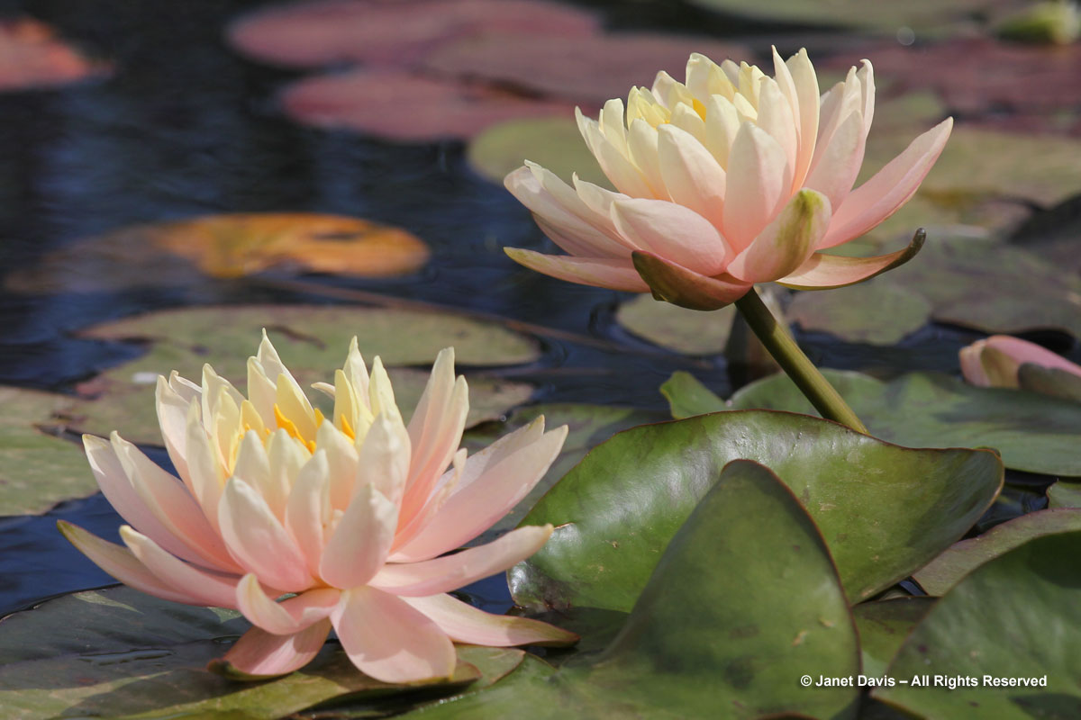 10-Water-lily