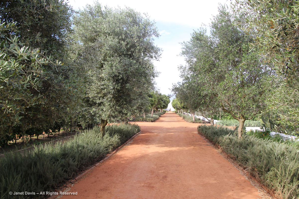 13-Olive Walk-Babylonstoren