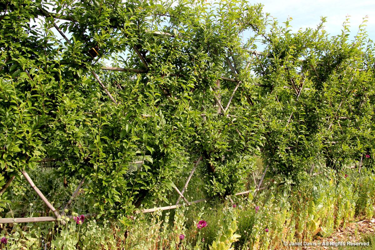 22-Stone Fruit Espalier-Babylonstoren