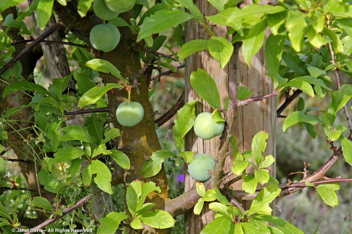 24-Nectarines-Babylonstoren