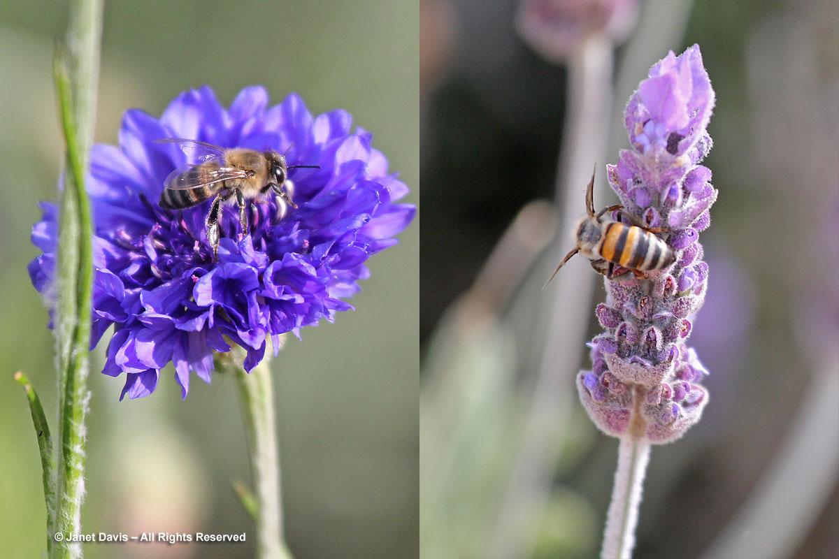 33-Cape honey bees-Apis mellifera capensis