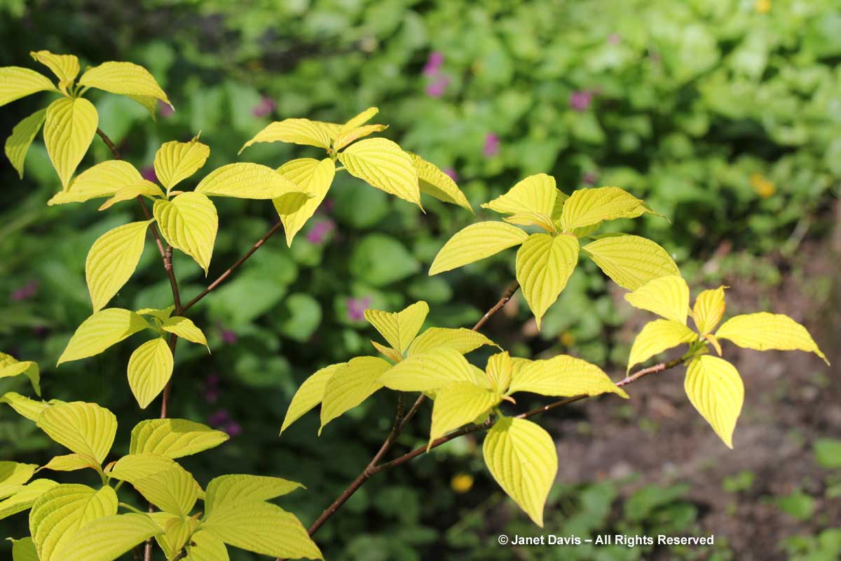 Cornus alternifolia 'Gold Bullion'