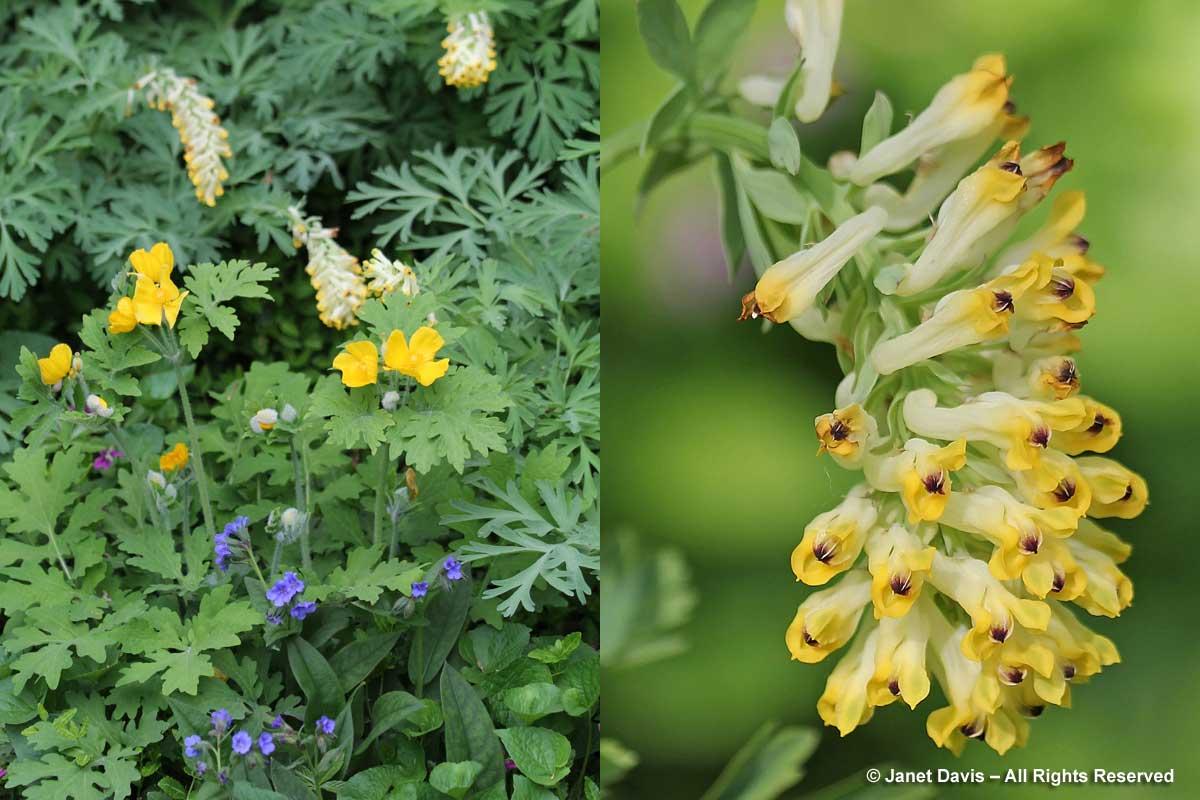 Corydalis nobilis-Noble birthwort