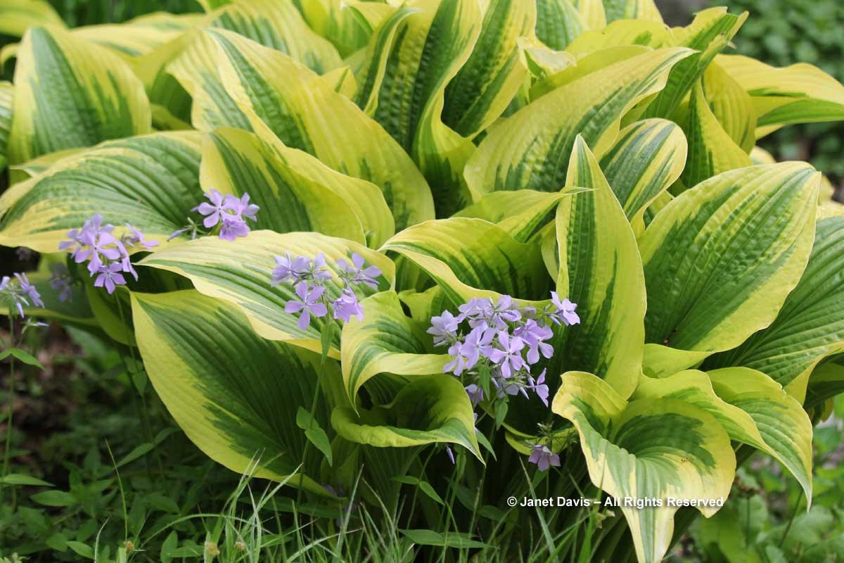 Hosta montana 'Aureo-Marginata' & Phlox divaricata