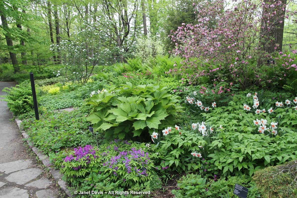 Azaleas & Daffodils & Lathyrus verna-Montreal Botanical Garden