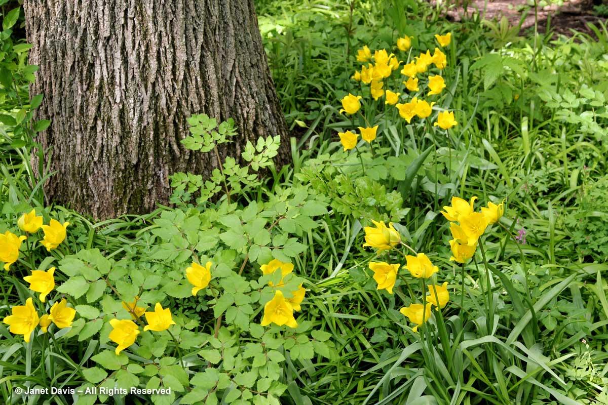 Stylophorum diphyllum & Tulipa sylvestris-Montreal Botanical Garden