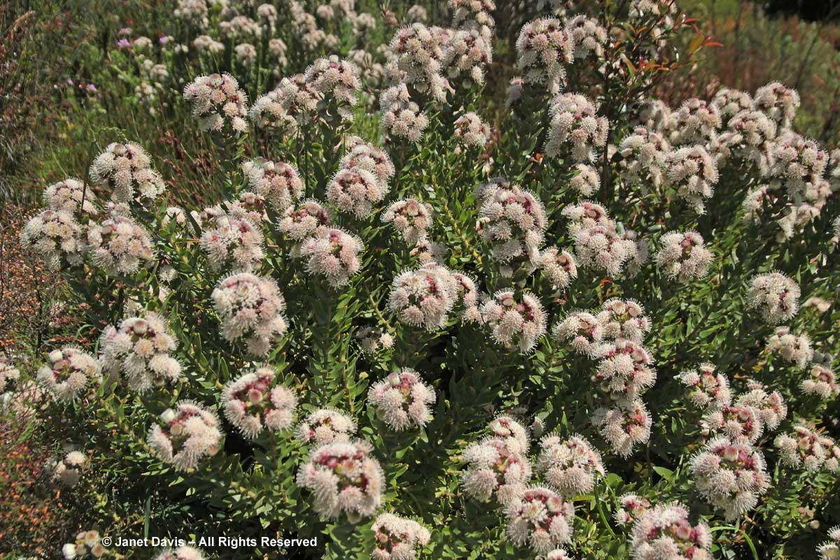07-Leucospsermum bolusii-Gordon's Bay Pincushion