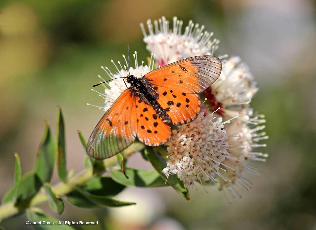 08-Acraea horta-Leucospermum bolusii