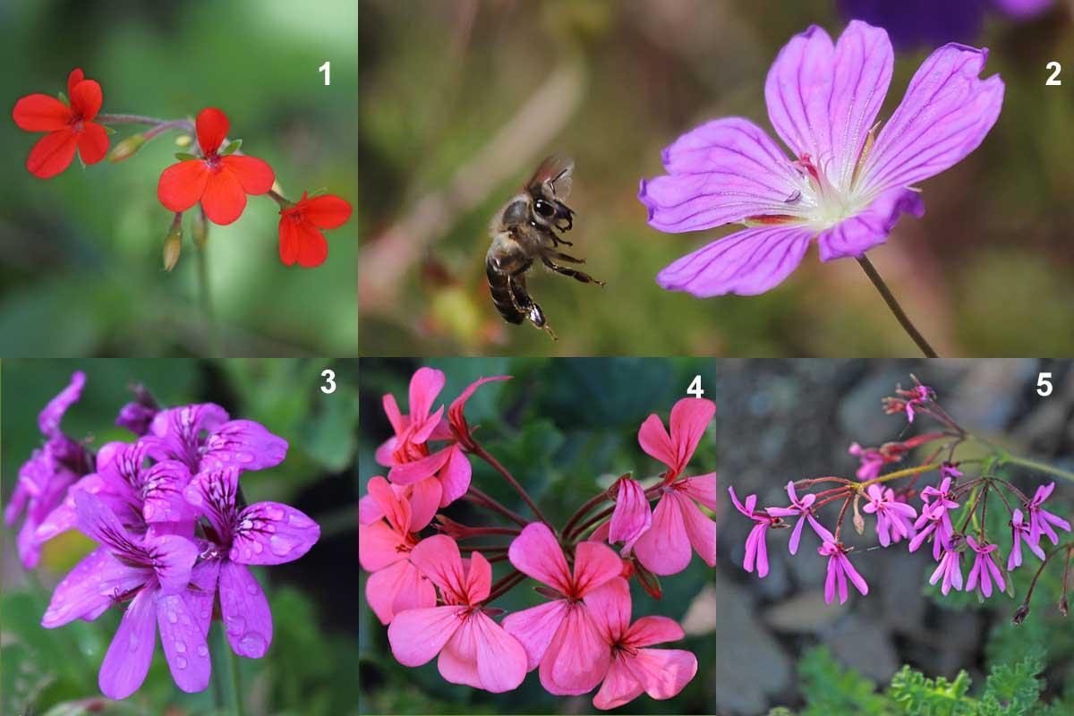 12-Geraniaceae at Kirstenbosch