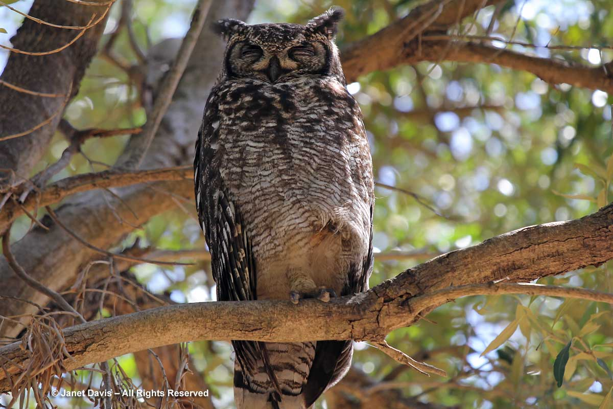 15-Spotted Eagle Owl-Bubo africanus