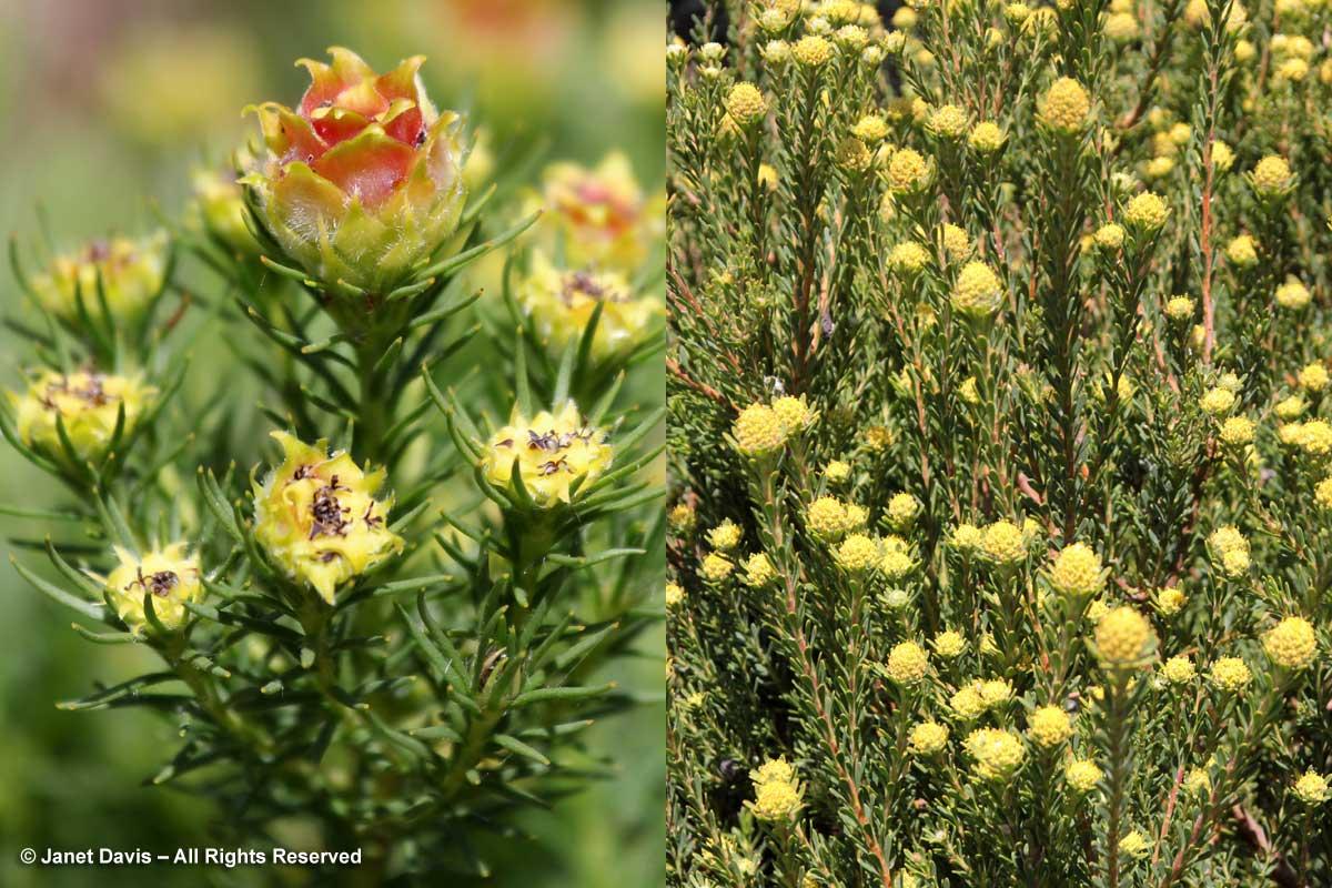 23-Leucadendron linifolium & Leucadendron thymifolium