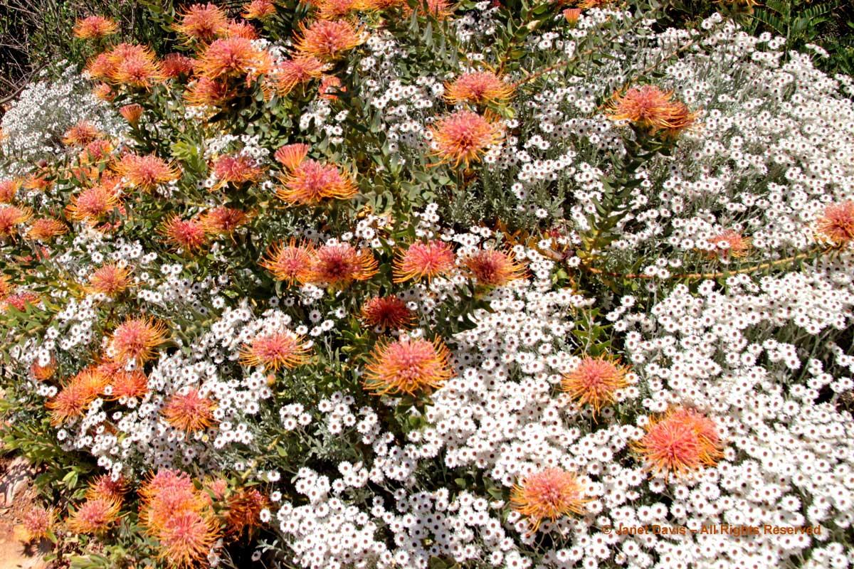 27-Leucospermum tottum and Syncarpha vestita