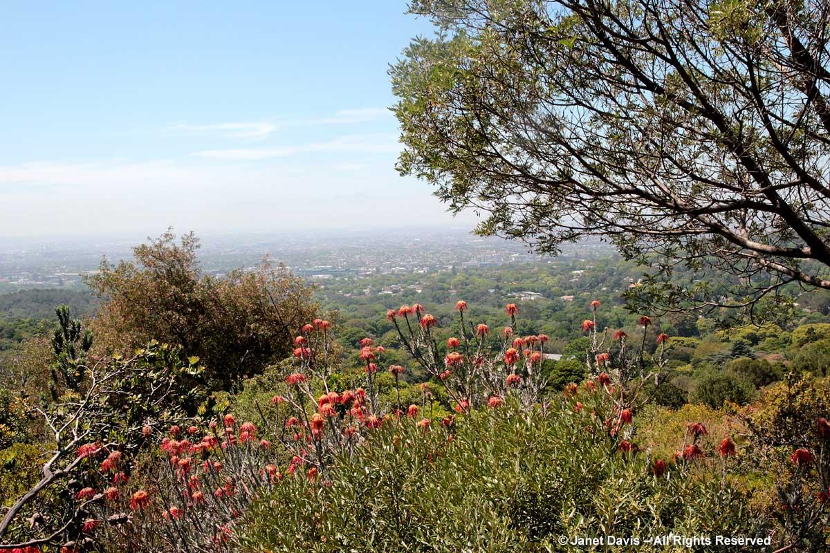 28-Leucospermum reflexum-Kirstenbosch