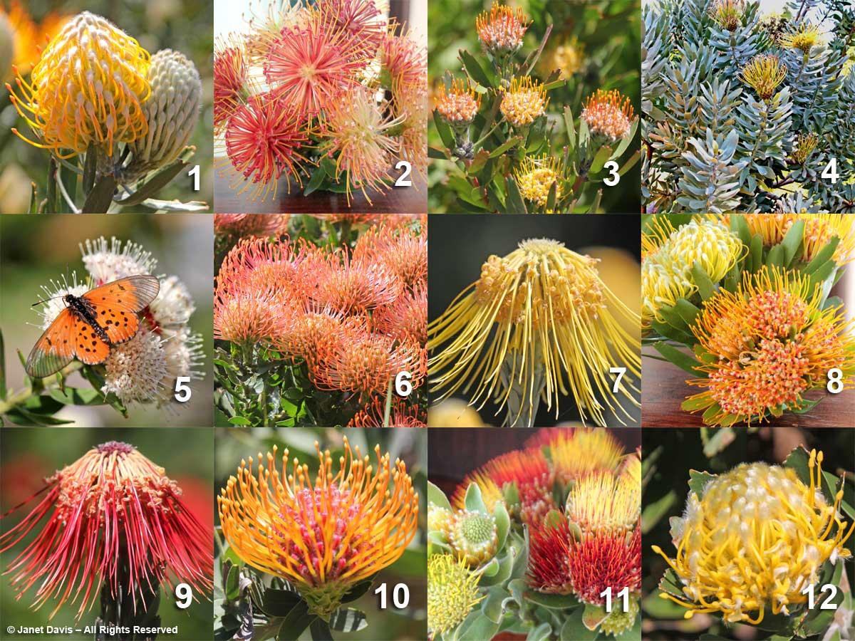 29-Leucospermum array-Kirstenbosch